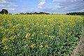 Brassica napus field, koolzaadveld(1)bewerkt.jpg