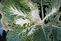 Brassica oleracea Coral Prince 0zz.jpg