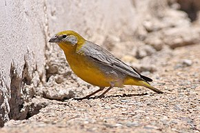Description de l'image Bright-rumped Yellow-Finch (8077601983).jpg.