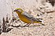Bright-rumped Yellow-Finch (8077601983).jpg