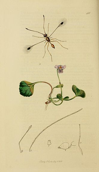 Fairyfly - An illustration of the 'feather-winged' Mymar pulchellum by John Curtis, c. 1840