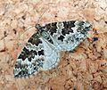 Broken barred Carpet. Electrophaes corylata. Geometridae - Flickr - gailhampshire.jpg