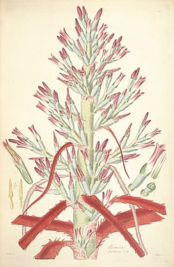 Bromelia pinguin (as Bromelia fastuosa) - Collectanea botanica - Lindley pl. 1 (1821).jpg