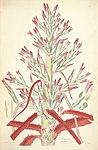 Bromelia pinguin (as Bromelia fastuosa) - Collectanea botanica - Lindley pl. 1 (1821).jpg
