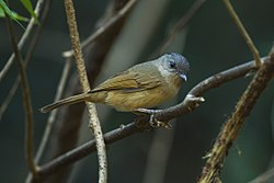 Brown-cheeked Fulvetta - Central Thailand S4E7496 (18926420603).jpg