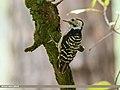 Brown-fronted Woodpecker (Dendrocopos auriceps) (37597198221).jpg