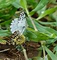 Brown-veined Whites (Belenois aurota) mating.jpg