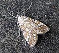 Brown China-mark. Elophila nymphaeata - Flickr - gailhampshire (2).jpg