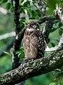 Brown Fish Owl (36145561681).jpg