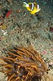Brown sea anemone with twobar anemone fish (6068868624).jpg