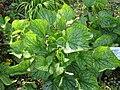 Brunnera macrophylla 'Mr Morse'1.jpg