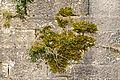 Bryophyta sur une muraille.jpg