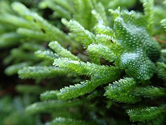 Bryology - Common bryophytes found in central Japan