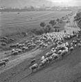 Bucina javorniky ovce.jpg