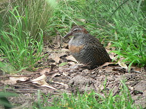 Fauna of the Cocos (Keeling) Islands - The endemic subspecies of buff-banded rail