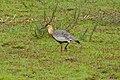 Buff-necked Ibis (Theristicus caudatus) (28996554446).jpg