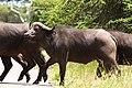 Buffalo (2355695778).jpg