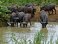 Buffaloes (Syncerus caffer) at water hole (11902079685).jpg