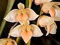 Bulbophyllum conspectum.jpg