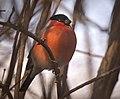 Bullfinch (51061675783).jpg