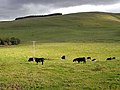 Bullocks grazing below Huntly Hill - geograph.org.uk - 1531170.jpg