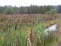 Bullrushes at Altmore Forest - geograph.org.uk - 239030.jpg