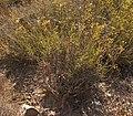 Bupleurum frutiscens subarbust11.jpg