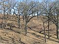 Bur-oak-savanna.jpg