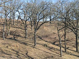 Oak savanna - Fire-tolerant bur oak savanna in Wisconsin hill country