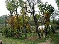 Bureglio Antico impianto uva.jpg