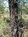 Bursaria incana trunk.jpg