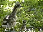 Fil:Bush Thick-knee rushck.ogv