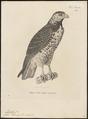 Buteo pterocles - 1700-1880 - Print - Iconographia Zoologica - Special Collections University of Amsterdam - UBA01 IZ18200055.tif
