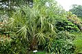 Butia capitata - Glendurgan Garden - Cornwall, England - DSC01757.jpg