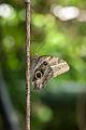 Butterfly on a stick (14726705023).jpg
