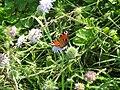 Butterfly with open wings.jpg