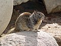 CA Ground Squirrel on rock.jpg