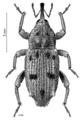 COLE Curculionidae Nothaldonus peacei.png