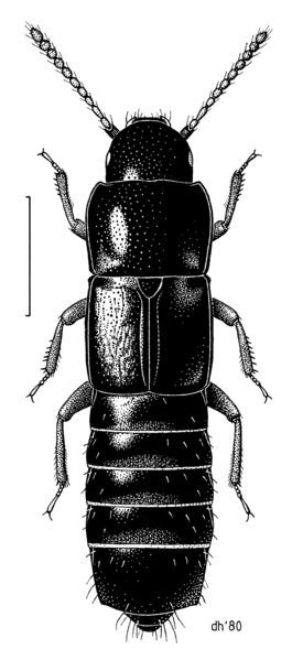 File:COLE Staphylinidae Nototorchus ferrugineus.png