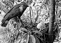 COLLECTIE TROPENMUSEUM Een slangenbuizerd (Spilornis) met een prooi voor het jong in het nest in Dampar Oost-Java TMnr 10006581.jpg