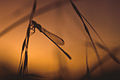 CSIRO ScienceImage 1777 Silhouetted Dragonfly on Stem at Sunset.jpg