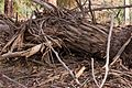 CSIRO ScienceImage 3722 Dead tree.jpg