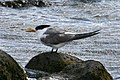 CSIRO ScienceImage 3861 Great Crested Tern Flinders Victoria.jpg