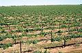CSIRO ScienceImage 4133 McWilliams Wines vineyards at Hanwood near Griffith NSW.jpg