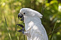 Cacatua alba -St Augustine Alligator Farm Zoological Park, Florida, USA -upper body-8a.jpg