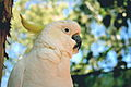 Cacatua galerita -upper body -Queensland-8.jpg