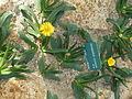 Cactees-Jardin-Plantes 09 Glottiphyllum cruciatum.JPG