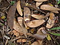 Caesalpinia echinata Ceret São Paulo 001.jpg