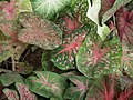 Caladium from Lalbagh garden 8739.JPG