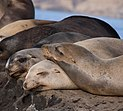 California sea lions in La Jolla (70474).jpg